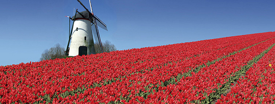 Tulpen_Holland
