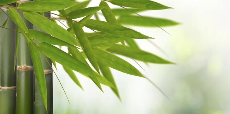 Le bambou ou bambousa arundinacea