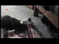Chat contre chien