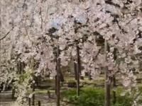 Cherry blossom girl - Air