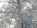Ecureuils gris Kensington Gardens Aout 2017