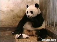The Sneezing Baby Panda - YouTube