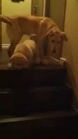 Un chien apprend à un chiot à descendre les escaliers