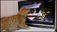 Kitten Plays with Birds on Laptop