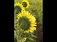 Love Poem - Spring Waltz OST