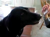 Dog plays spoon