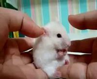 Un Hamster tout mimi a un gros choc