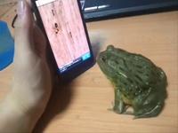 grenouille en colère