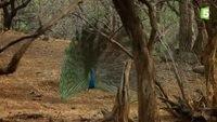 La roue magnifique du paon bleu - ZAPPING SAUVAGE