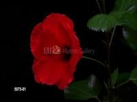 bbc-flower