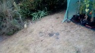 Douche grenouille