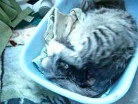 accouchement du chat